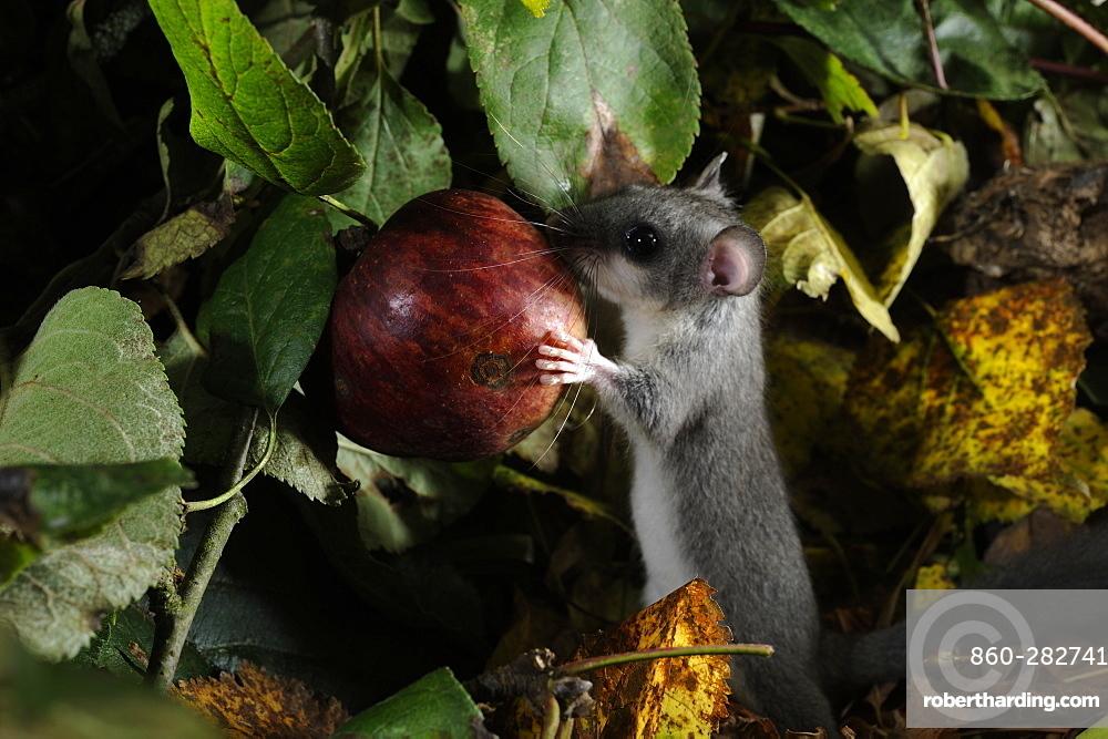 Fat Dormouse eating a fallen fruit in autumn, France