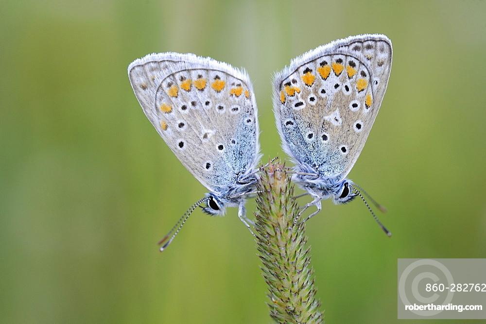 Common Blue on an ear, Lorraine France