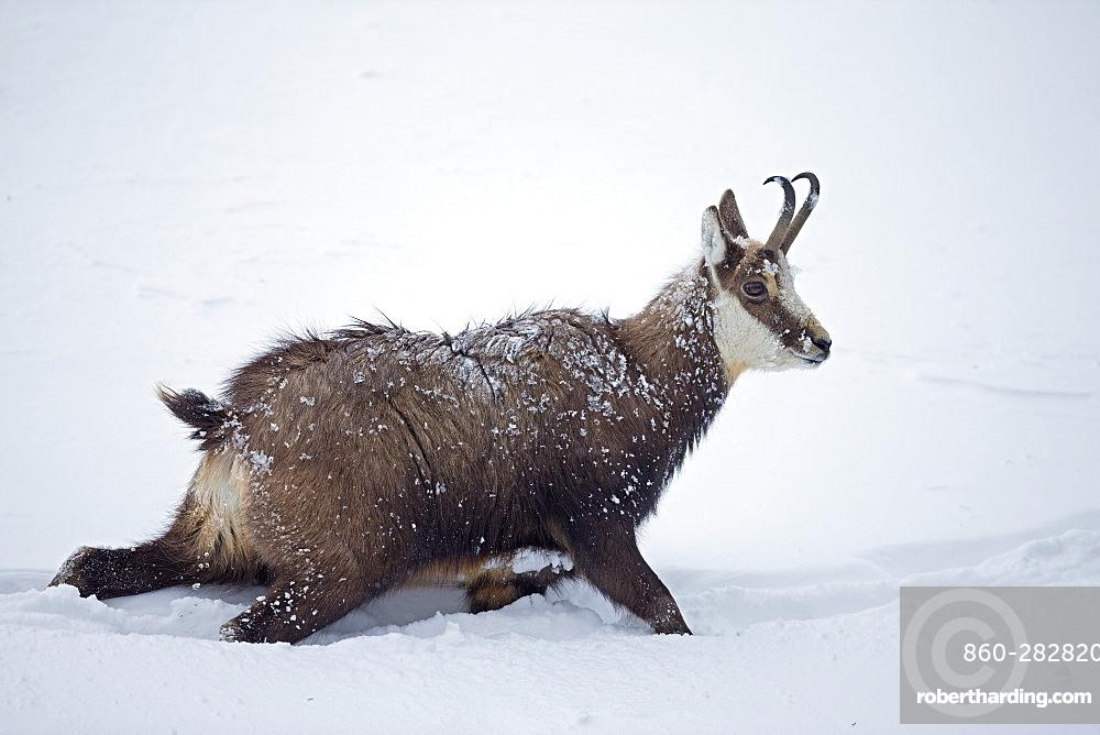 Chamois moving in deep snow, Jura Vaud Switzerland