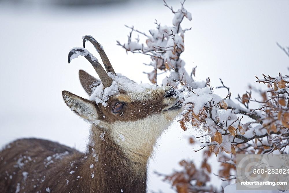Chamois eating in deep snow, Jura Vaud Switzerland