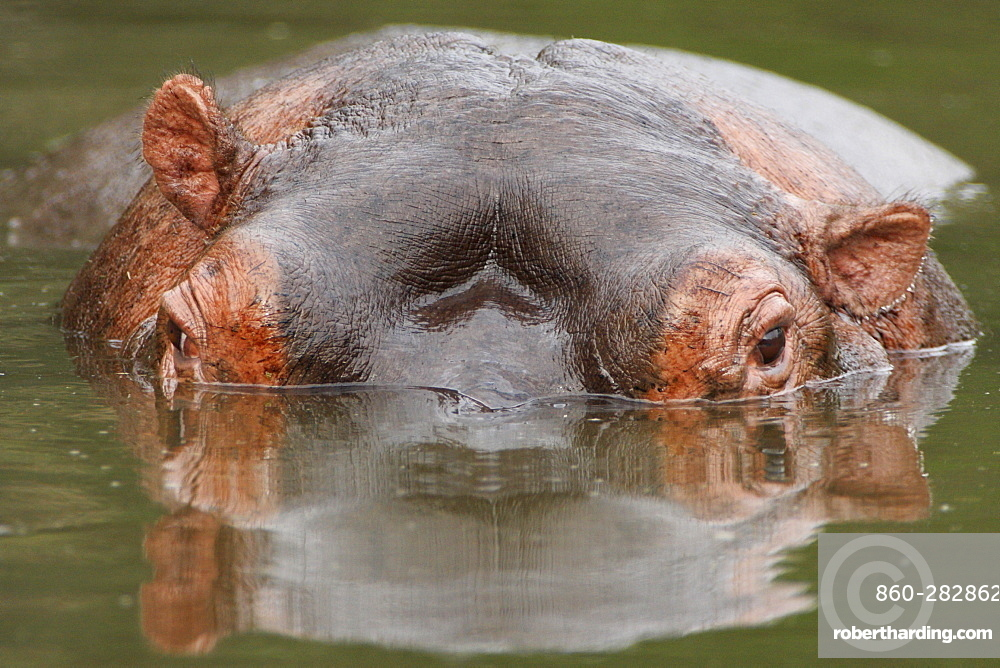 Portrait of Hippo in water, Kruger RSA