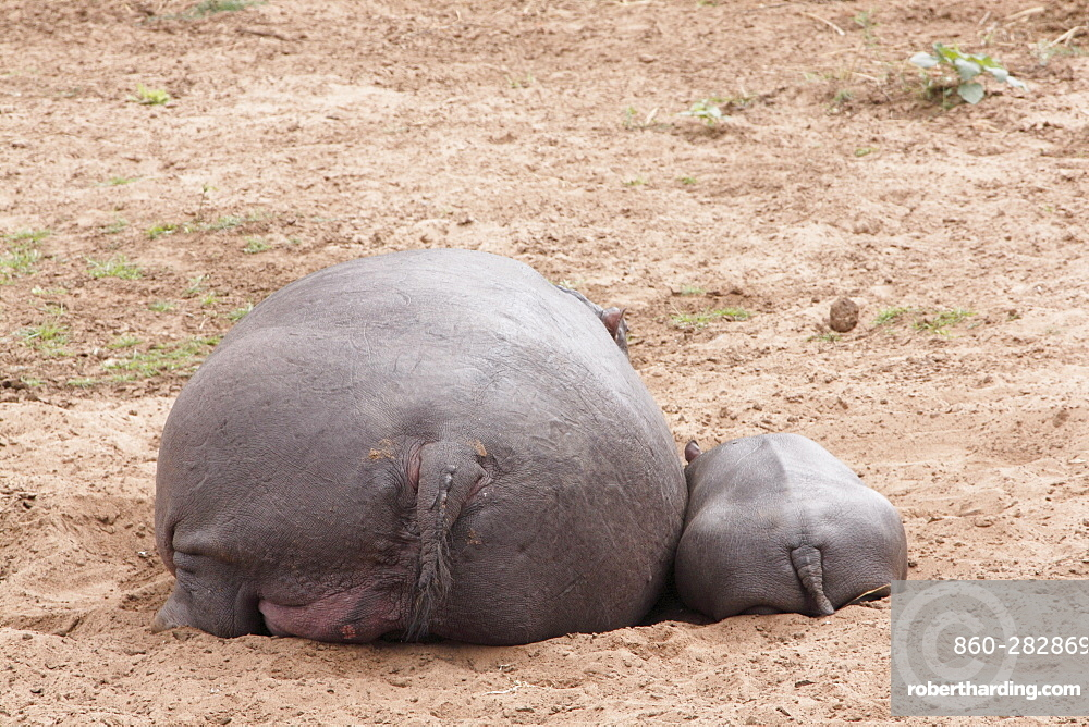 Female and young hippo lying on the bank, Kruger