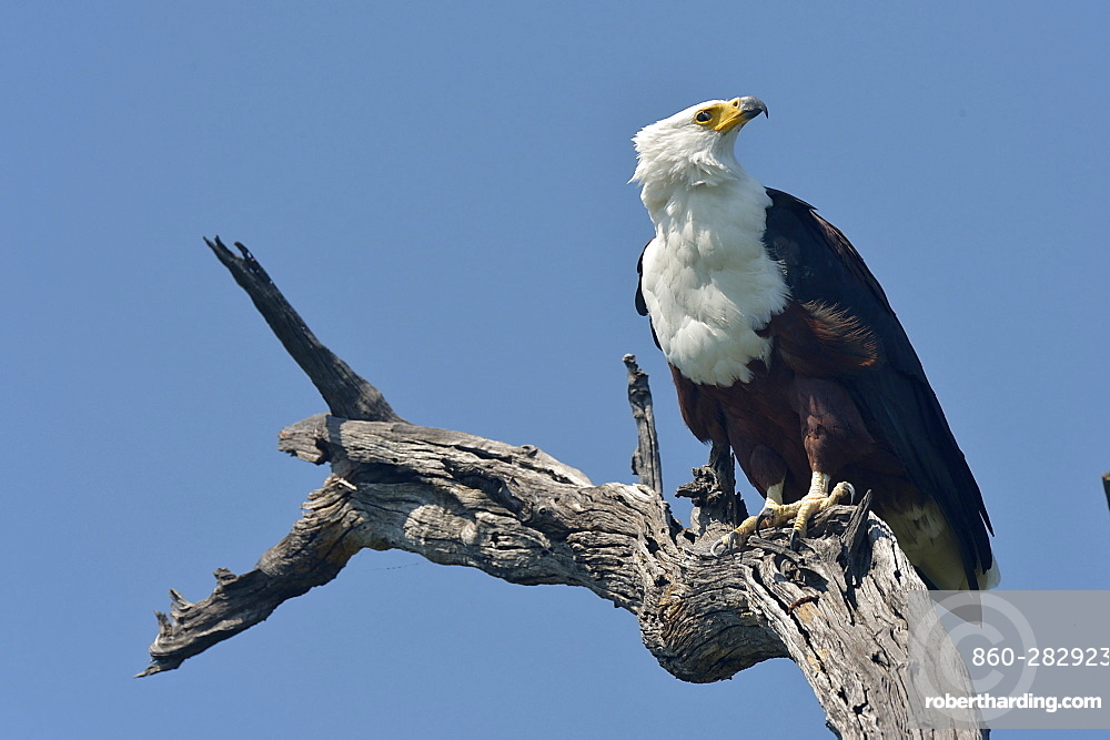 African Fish-eagle on a branch, Botswana