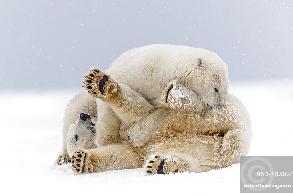 Polar bears playing on the ice, Barter Island Alaska