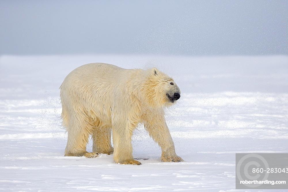 Polar Bear snorting on the ice, Barter Island Alaska