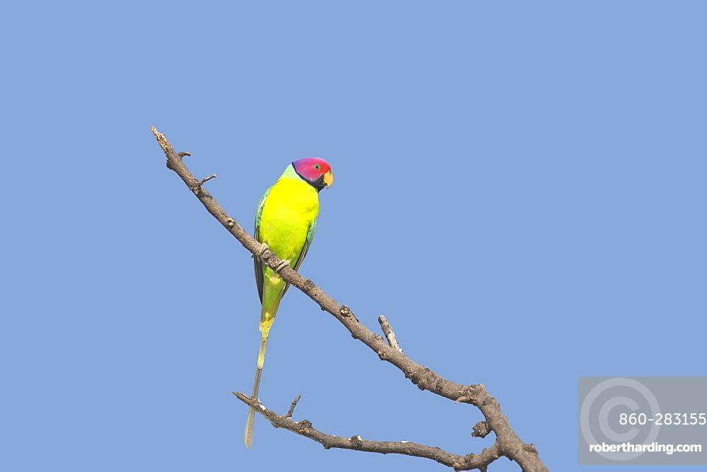 Plum-headed Parakeet on a branch, Bera Rajasthan India