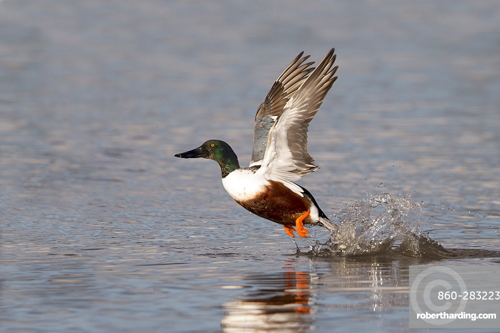Male Shoveler taking off from the water in winter, GB