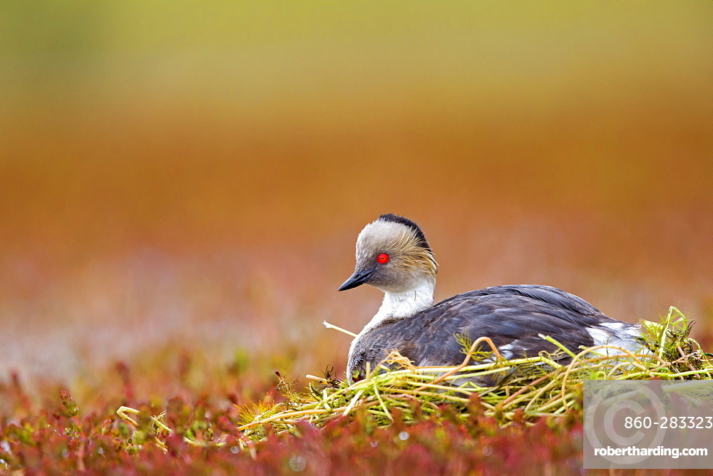 Silvery Grebe at nest, Torres del Paine Chile