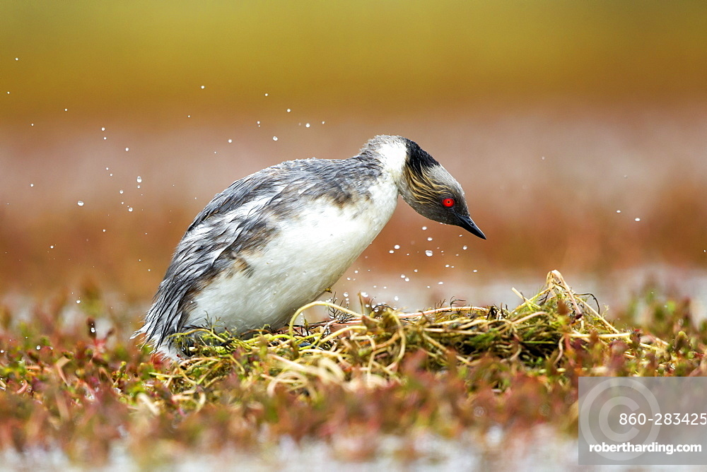 Silvery Grebe at nest , Torres del Paine Chile