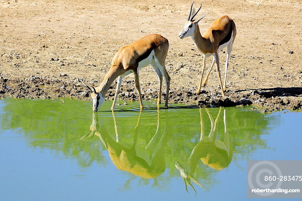 Springboks at waterhole , Kalahari Desert Kgalagadi RSA