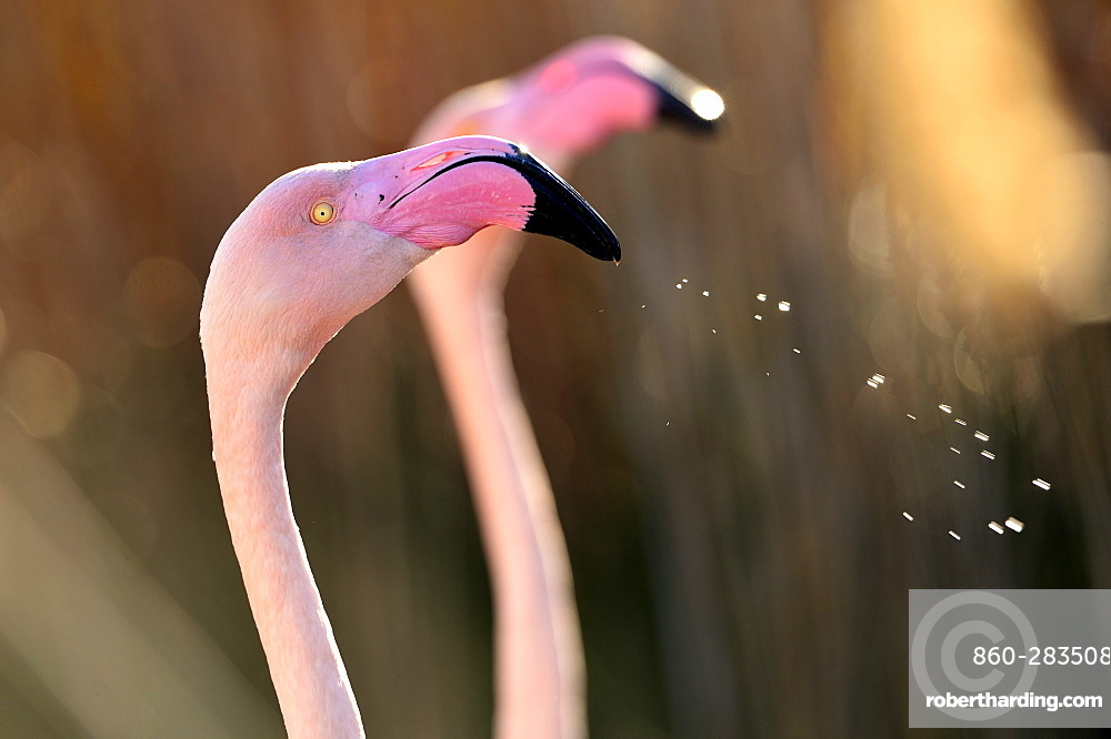 Portrait of Greater Flamingo, Camargue France