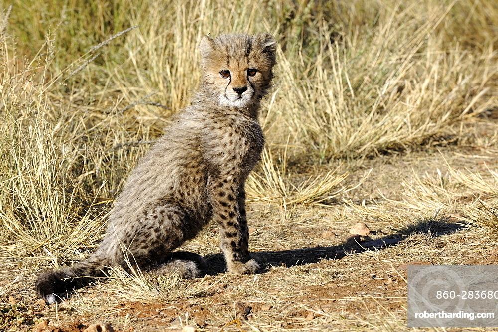 Young Cheetah sitting in the bush, Chobe Botswana