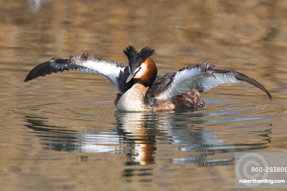 Great Crested Grebe drying his wings in winter, Switzerland