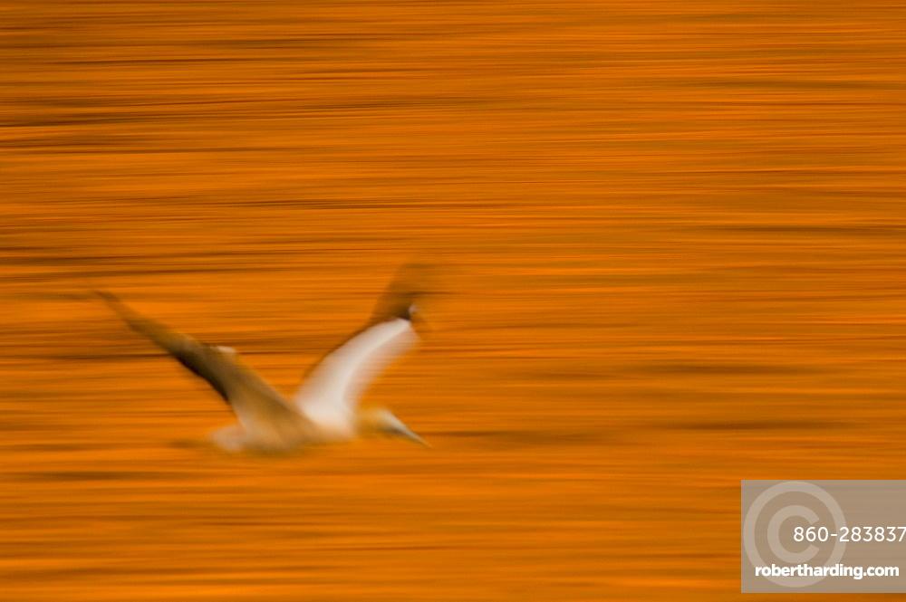 Australasian Gannet  flying over the sea, New Zealand
