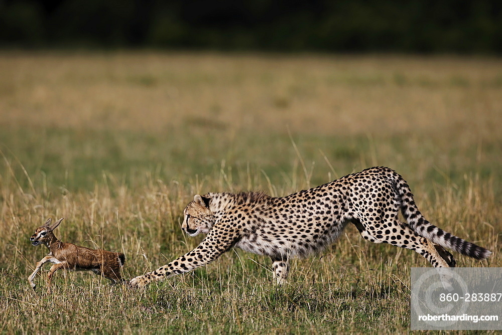 Cheetah capturing a young Gazelle, East Africa