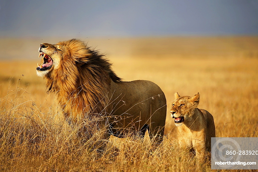 Couple Lions in Savannah, East Africa