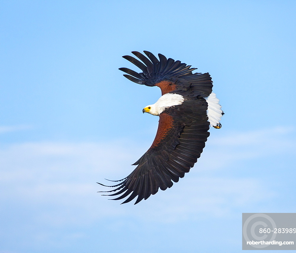 African Fish Eagle fishing in flight, Kenya