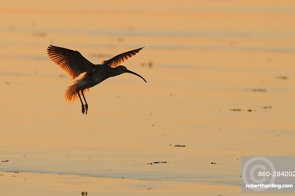 Eurasian Curlew flying over a mudflat, France