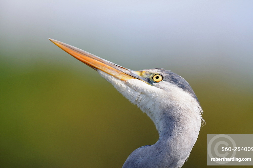 Portrait of Grey Heron, France