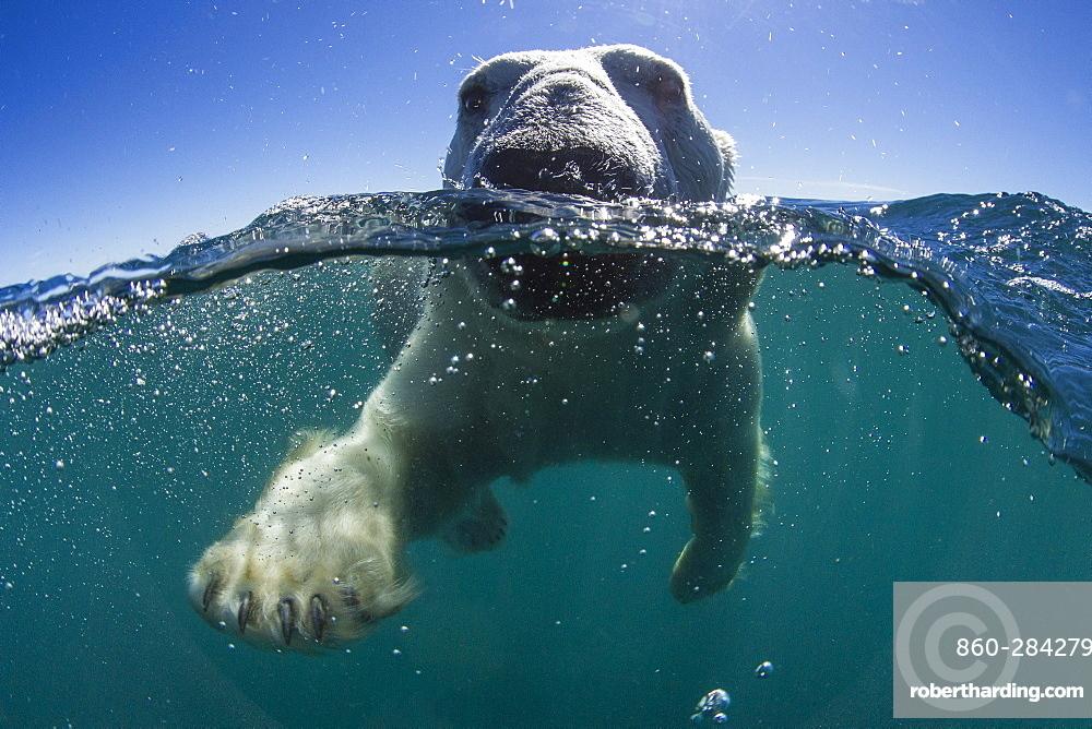 Polar Bear swimming, Hudson Bay Canada