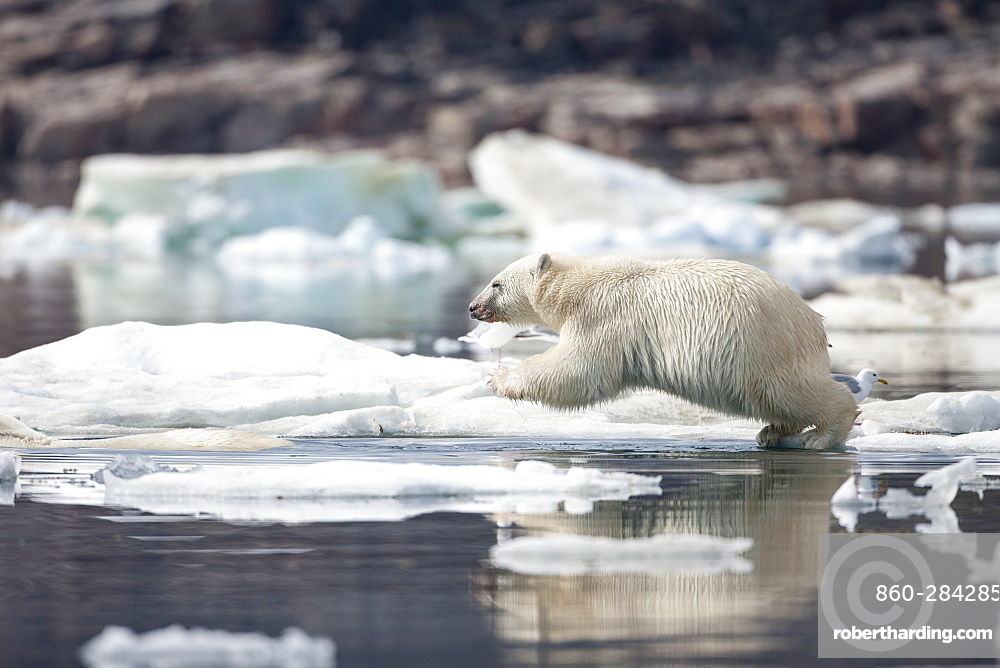 Polar Bear cub leaping from pack ice, Hudson Bay Canada