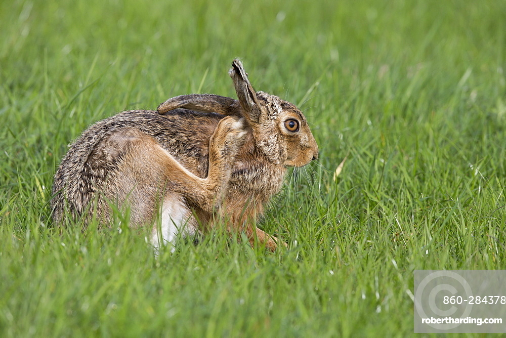 Brown Hare scratching itself in a meadow at spring, GB