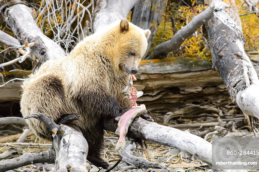 Grizzly eating on a trunk, Chilcotin Mountains Canada