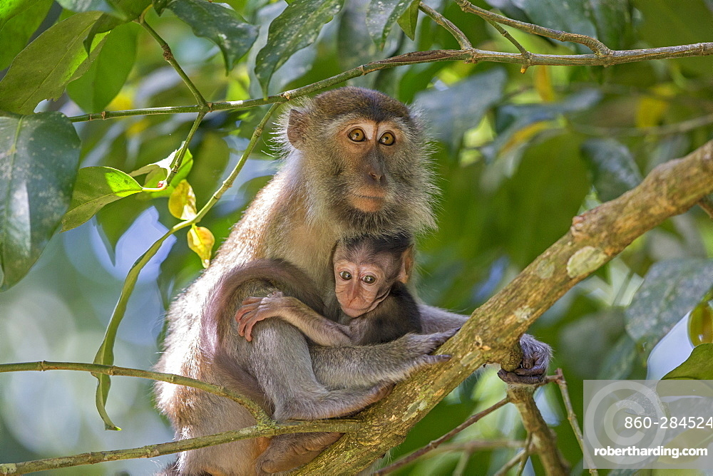 Long-tailed macaque and young on a branch, Bako Malaysia