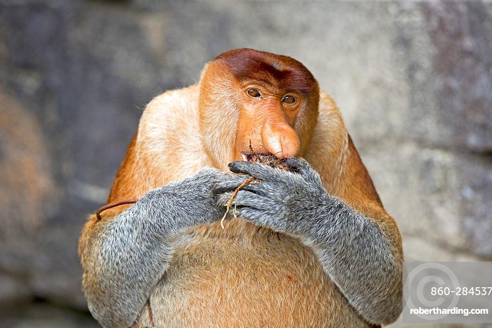 Proboscis monkey at the foot of a cliff, Malaysia Bako