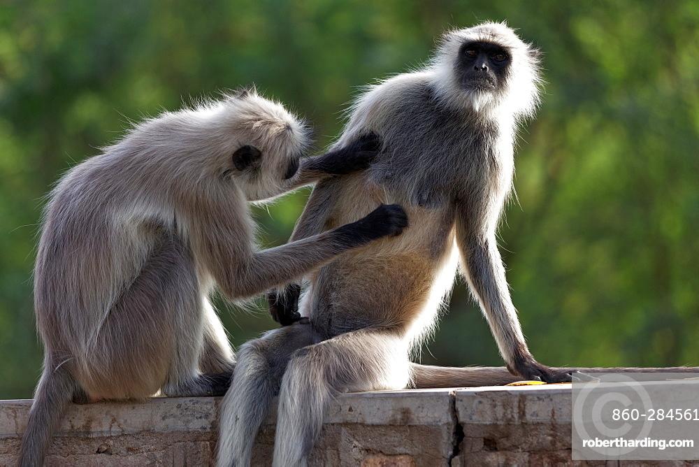 Hanuman Langurs grooming on a wall, Rajasthan India