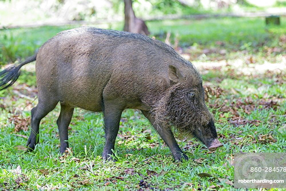 Bearded Pig in the grass, Bako Borneo Malaysia