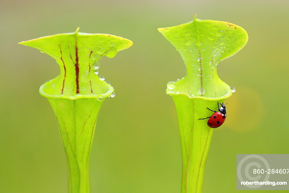 Beetle on Yellow Pitcher plants, Brittany France
