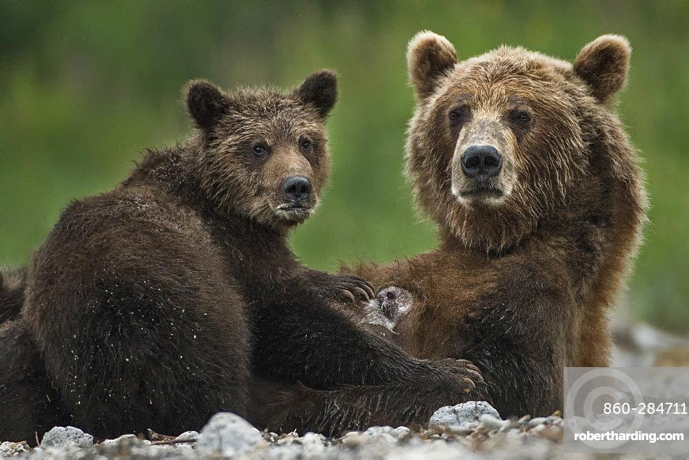 Brown Bear and cub on bank, Kuril Lake Kamchatka Russia