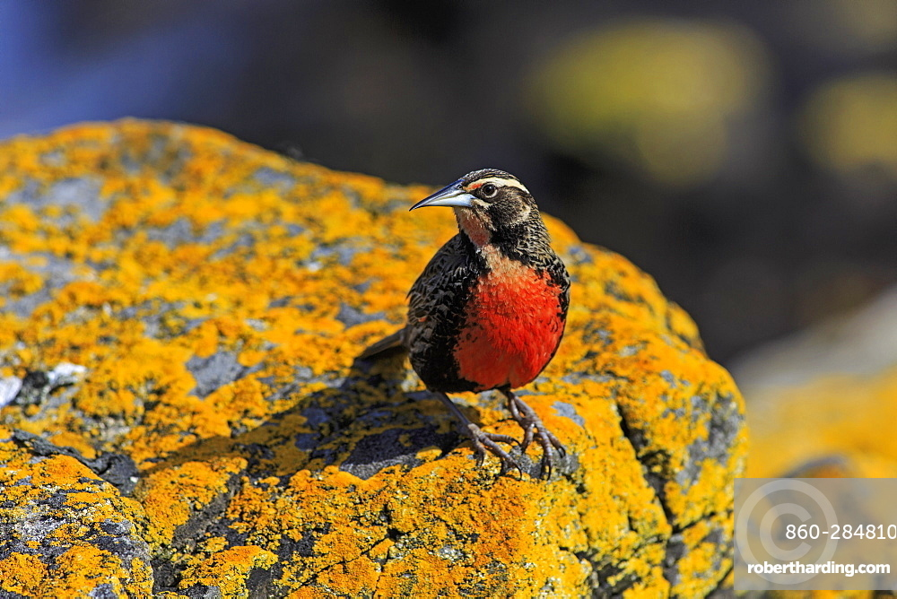 Long-tailed meadowlark on a rock, Falkland Islands
