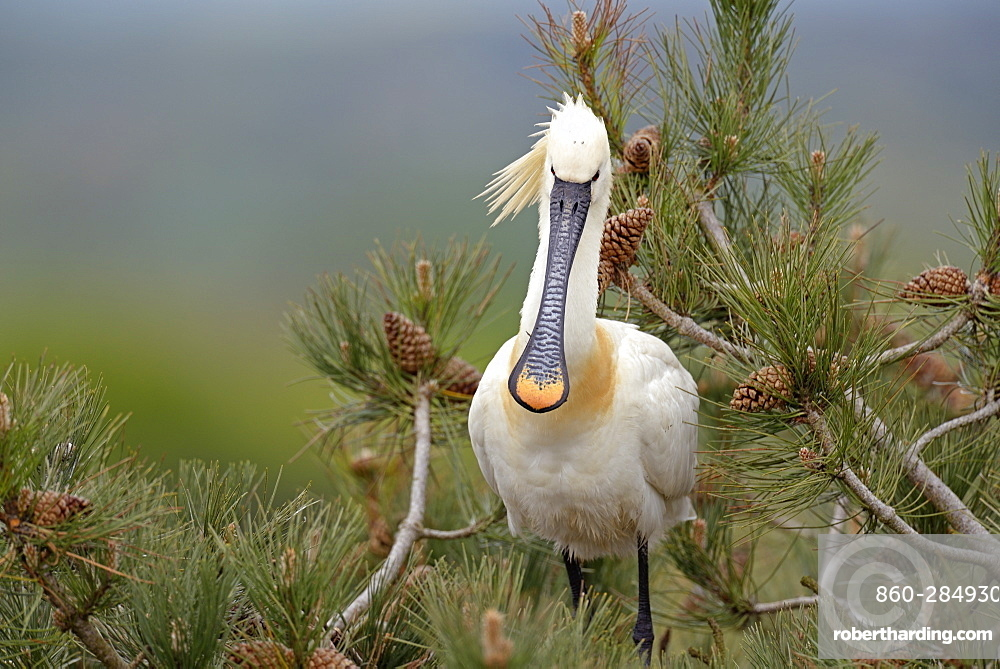 Eurasian Spoonbill on Pine tree, Marquenterre Somme France