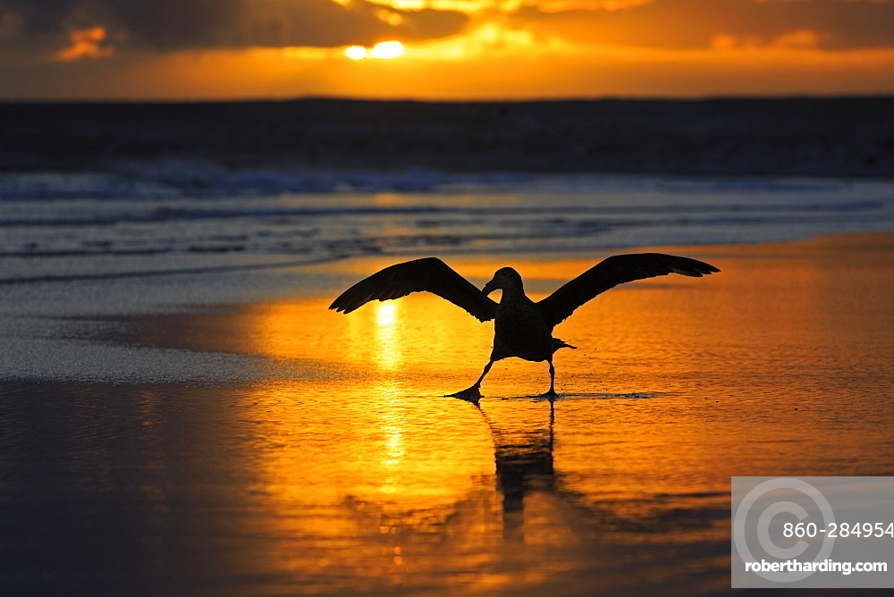 Southern giant petrel on a beach at sunrise-Falkland islands