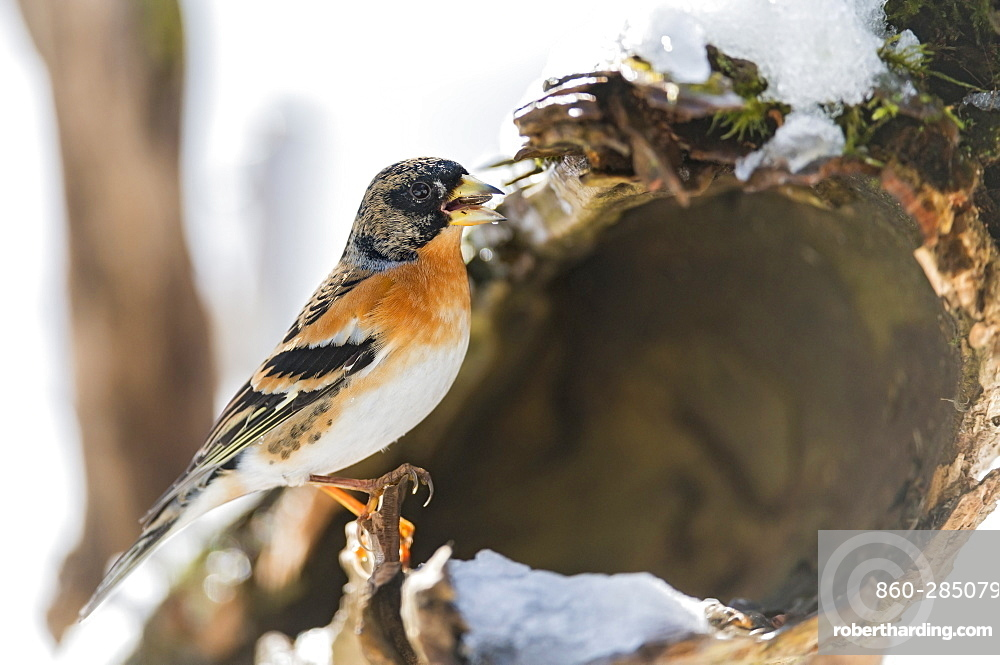 Brambling on a dead trunck in Chartreuse, France