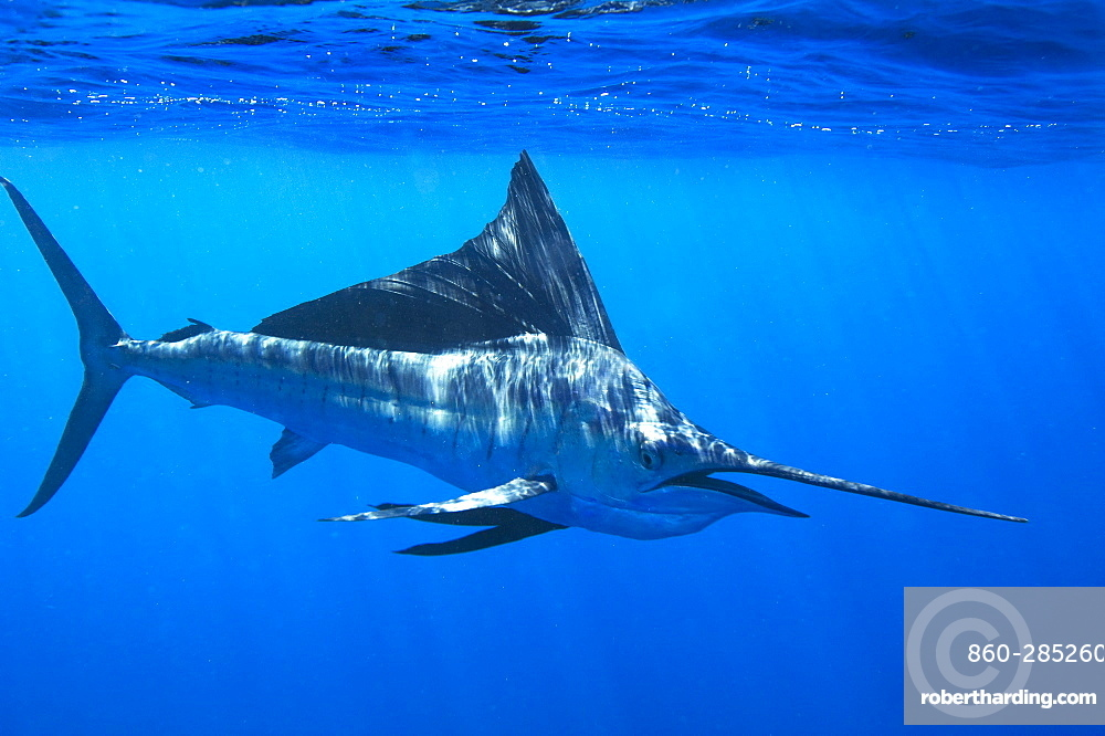 Sailfish below the surface, Gulf of California