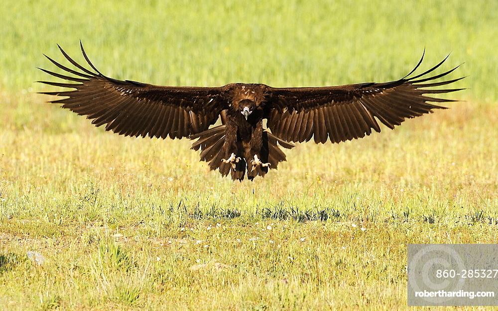 Cinereous Vulture landing, Spain