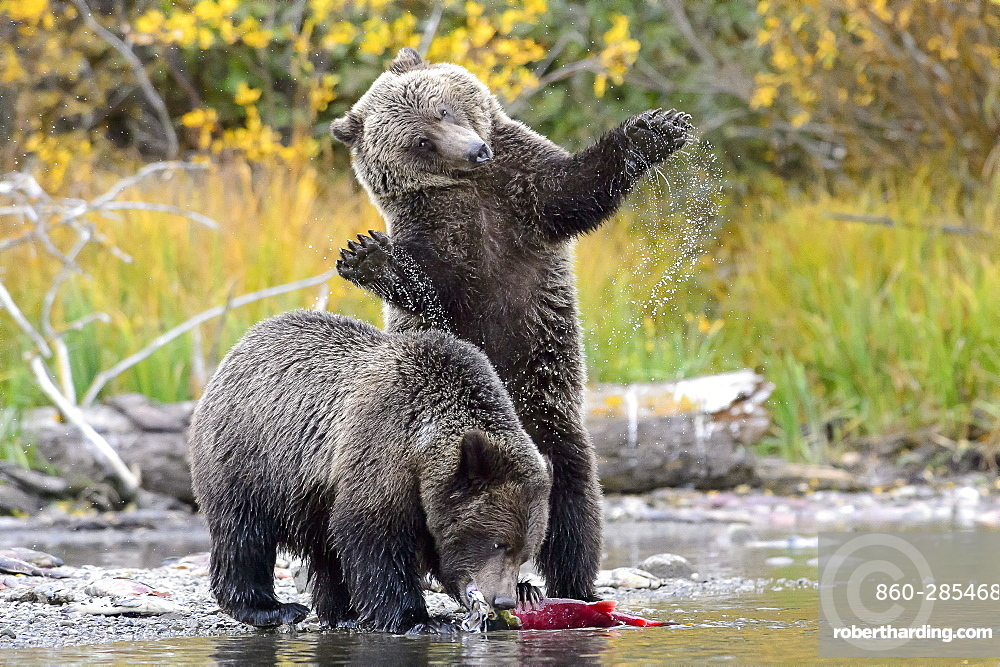 Grizzly bear cubs eating a salmon in Canada