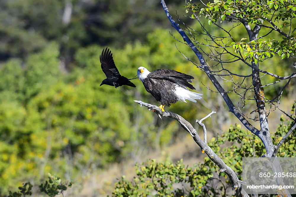 Bald eagles on a branch and crow in Canada