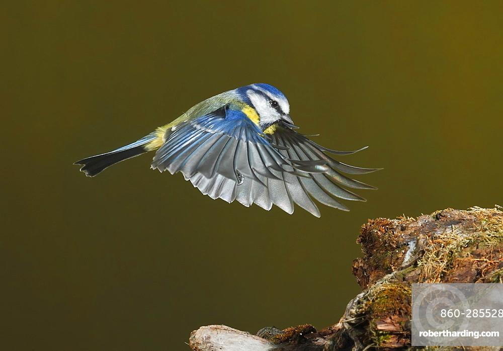 Eurasian Blue Tit flying towards a branch, Spain