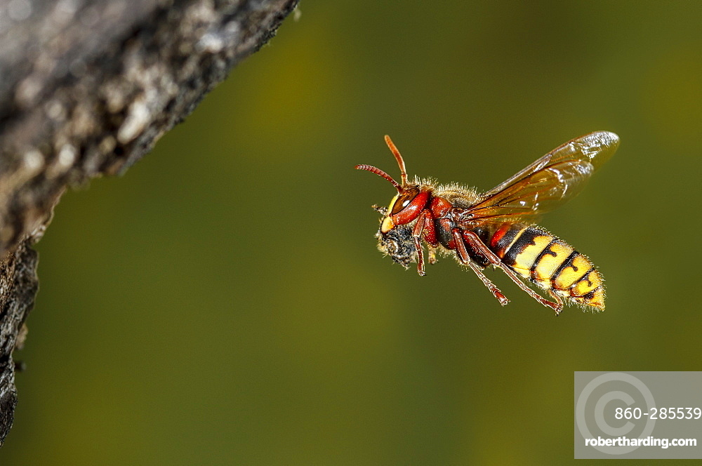 European hornet flying with prey, Spain