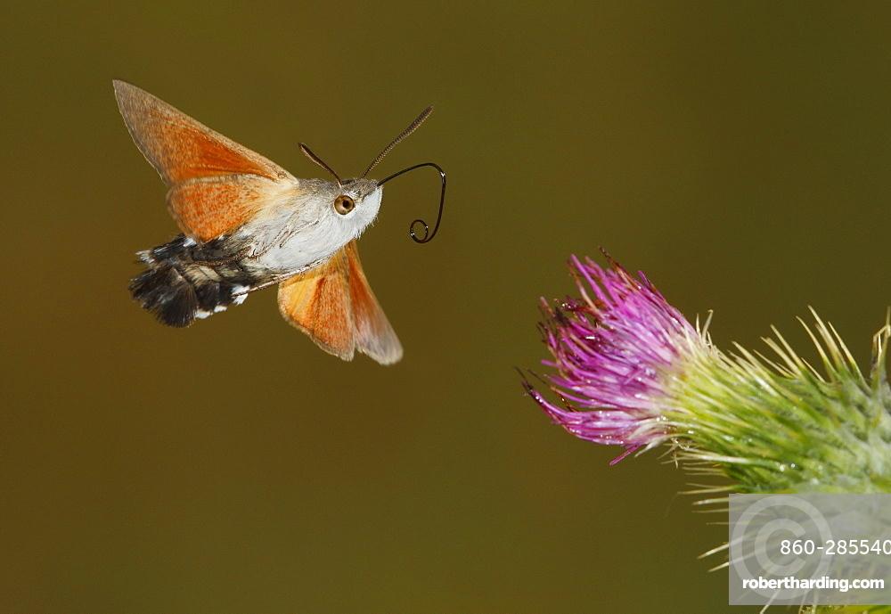 Hummingbird hawk-moth in flight, Spain