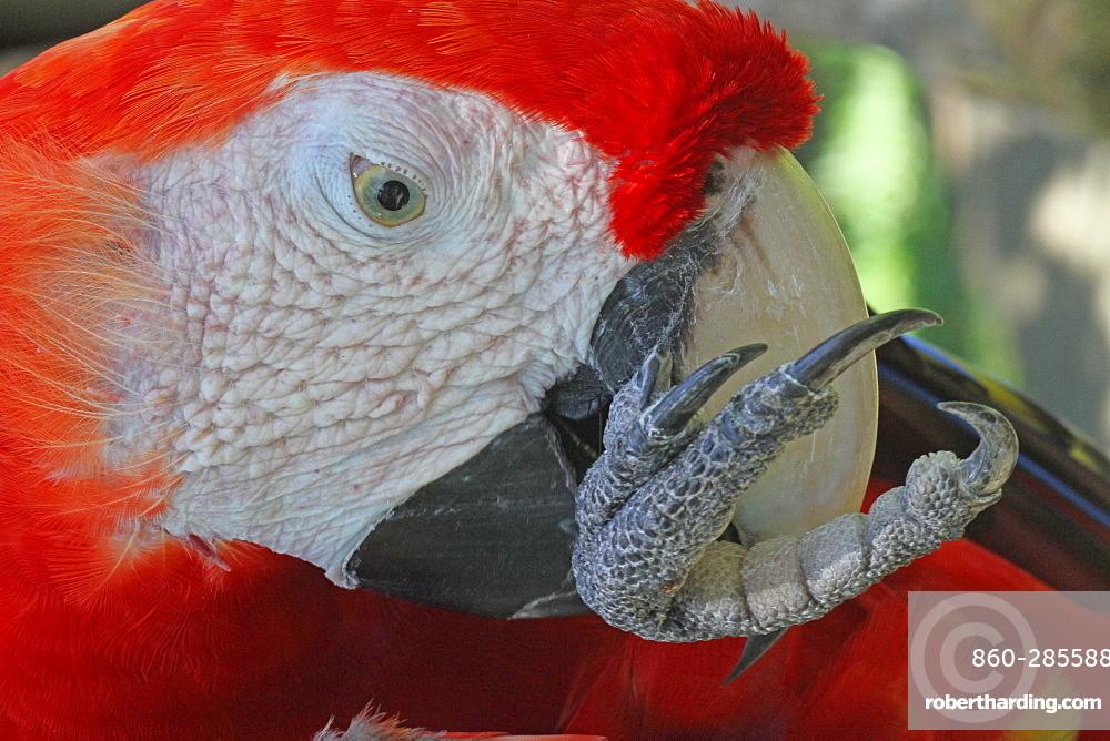 Portrait of Scarlet Macaw grooming, Bali Indonesia