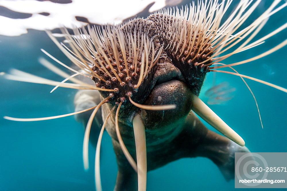 Portrait of Walrus swimming underwater, Arctic Ocean