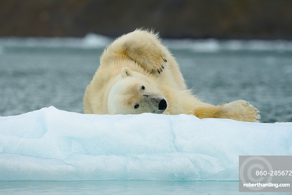 Polar bear rolling on the ice, Arctic
