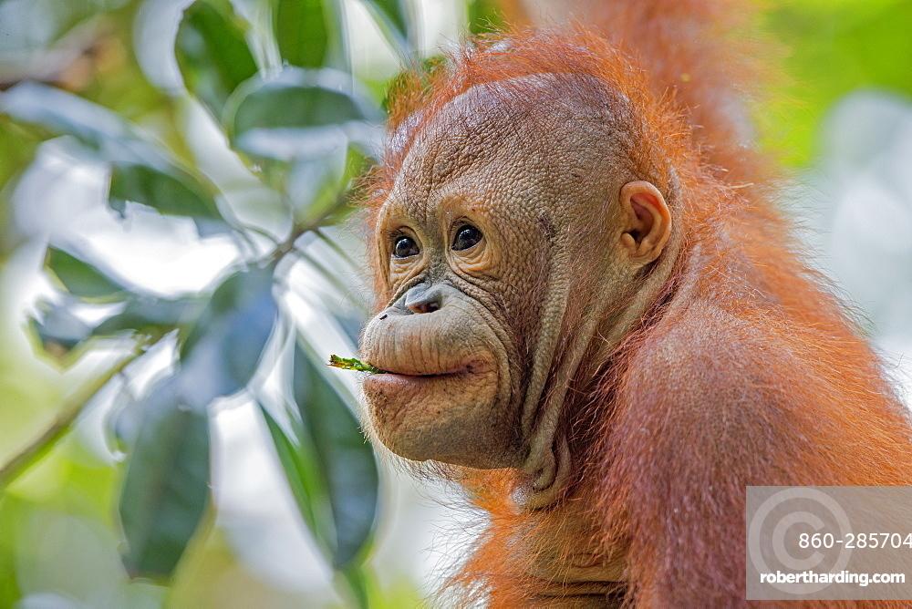 Portrait of young orangutan, Sepilok Borneo Malaysia