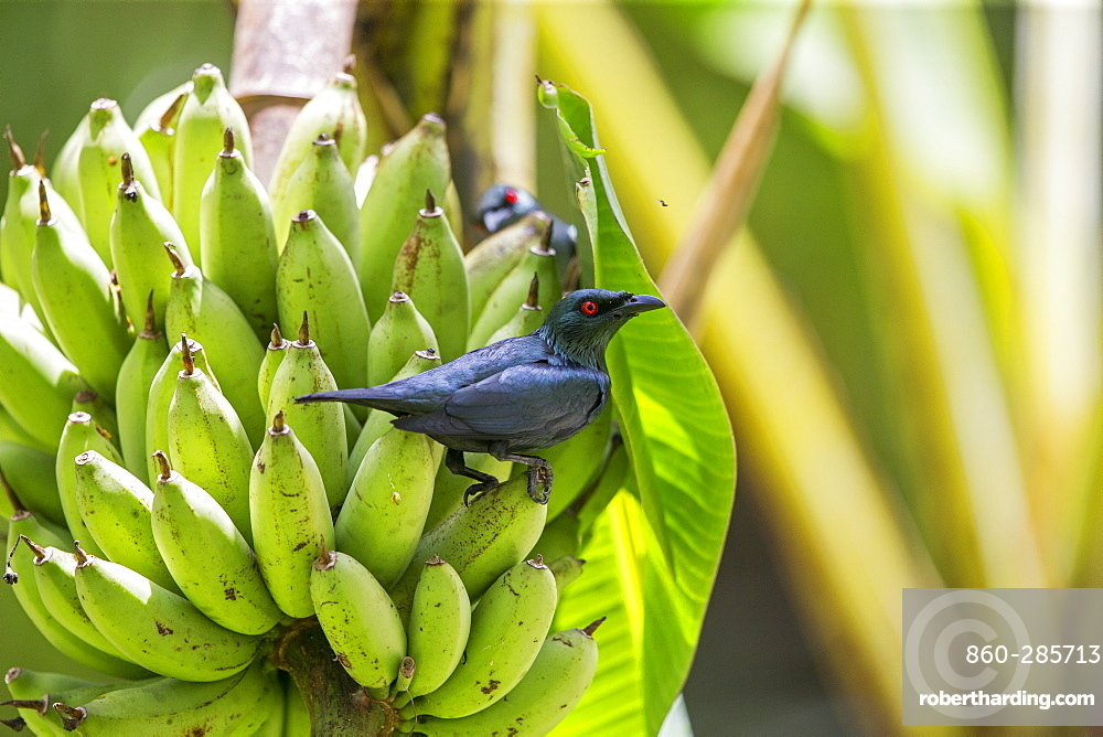 Starling on Bananas cluster, Kinabalu Sabah Malaysia