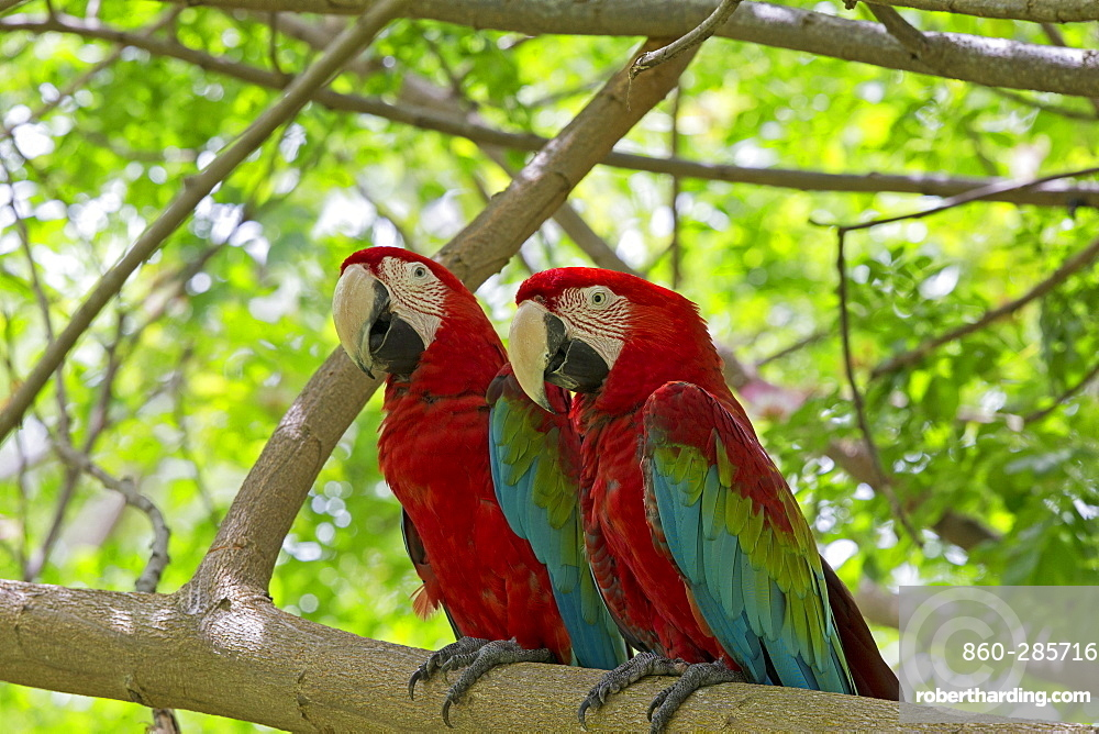 Red-and-green Macaws on a branch, Sepilok Malaysia